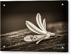 Fallen Beauty- Sepia Acrylic Print by Marvin Spates