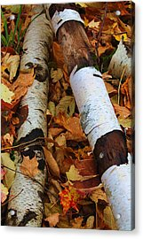 Fallen Birch Acrylic Print by Alicia Knust
