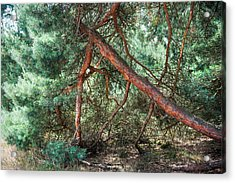 Falling Pine Tree In Veluwe National Park. Netherlands. Acrylic Print by Jenny Rainbow