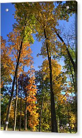 Falling Up The Maples Acrylic Print