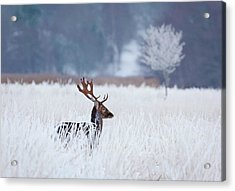 Fallow Deer In The Frozen Winter Landscape Acrylic Print