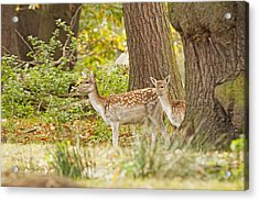Fallow Deer Woodland Scene Acrylic Print by Paul Scoullar