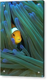 False Clown Anemonefish Acrylic Print