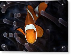 False Clownfish Acrylic Print