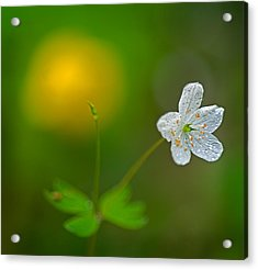 False Rue Anemone Acrylic Print by Robert Charity