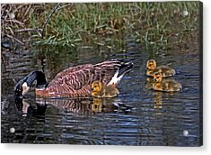 Family Affair Acrylic Print by Skip Willits