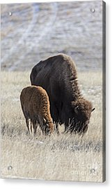 Bison Calf Having A Meal With Its Mother Acrylic Print