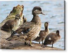 Family Of Ducks Acrylic Print by Michael Paskvan