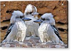 Family Ties - Kookaburra Style Acrylic Print