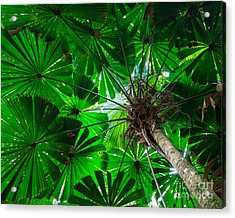 Acrylic Print featuring the photograph Fan Palm Tree Of The Rainforest by Peta Thames