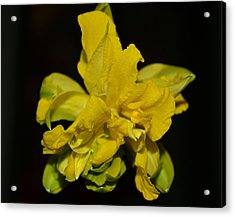 Acrylic Print featuring the photograph Fancy Daffodil by Mary Zeman