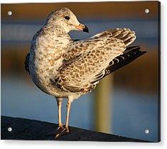 Fancy Sea Gull Acrylic Print by Paulette Thomas