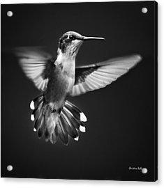 Fantail Hummingbird Acrylic Print