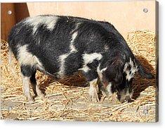 Farm Pig 7d27356 Acrylic Print