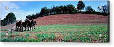 Farmer Plowing Field With Horses, Amish Acrylic Print by Panoramic Images