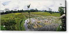Farmers Working In A Rice Field, Bali Acrylic Print by Panoramic Images