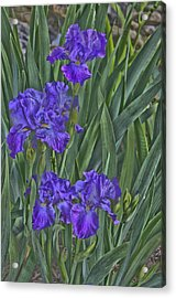 Faux Painted Irises Acrylic Print by Penny Lisowski