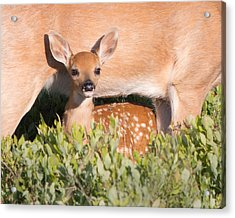 Fawn And Mom Acrylic Print