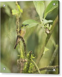 Fawn-breasted Brilliant Hummingbird Acrylic Print