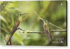 Fawn-breasted Brilliant Hummingbirds Acrylic Print by Dan Suzio