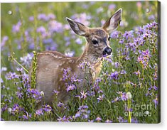 Fawn In Asters Acrylic Print