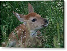 Fawn In Weeds Acrylic Print