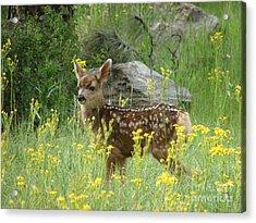 Fawn In Evergreen Colorado Acrylic Print