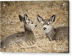Fawns At Rest Acrylic Print by Bob Dowling