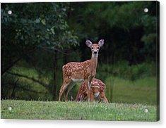 Fawns Acrylic Print by Greg Vizzi