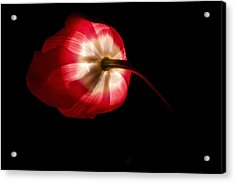 Feathery Tulip Acrylic Print by Andrew Soundarajan