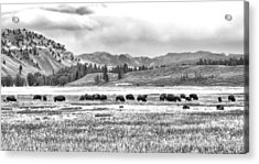 Feeding Bison And Scenic View  Acrylic Print