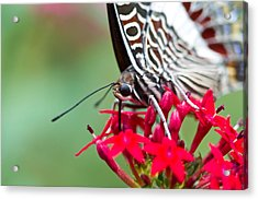 Acrylic Print featuring the photograph Feeding Butterfly by John Hoey