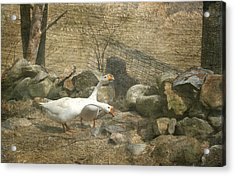 Feeding Geese   Acrylic Print by Betty  Pauwels