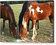 Acrylic Print featuring the photograph Feeding Horses by Cathy Harper