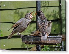 Feeding Time Acrylic Print