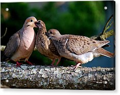 Feeding Twin Mourning Doves Acrylic Print