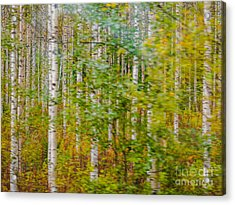 Feels Like Autumn In A Forest Of Birch Trees Acrylic Print