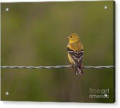 Female American Goldfinch Acrylic Print by Douglas Stucky