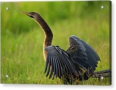 Female Anhinga Drying Out Wings Acrylic Print