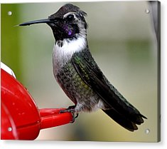 Acrylic Print featuring the photograph Male Anna On Feeder Perch Posing by Jay Milo