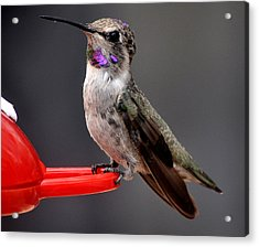 Acrylic Print featuring the photograph Female Anna's Hummingbird On Perch Posing For Her Supper by Jay Milo