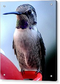 Acrylic Print featuring the photograph Female Anna With Purple Blue Throat by Jay Milo