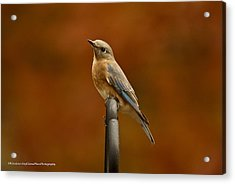 Acrylic Print featuring the photograph Female Bluebird by Robert L Jackson