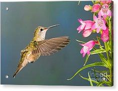 Female Broad-tailed Hummingbirds Acrylic Print by Anthony Mercieca