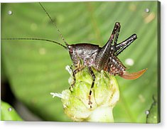 Female Bush Cricket Acrylic Print by Dr Morley Read