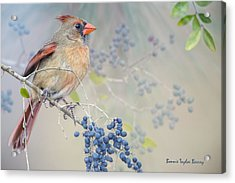 Female Cardinal And Wild Berries Acrylic Print by Bonnie Barry