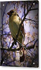Female Cardinal Acrylic Print by Barry Jones