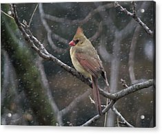 Female Cardinal In Snow 01 Acrylic Print by Shelly Gunderson