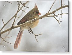 Female Cardinal In Snow 02 Acrylic Print by Shelly Gunderson