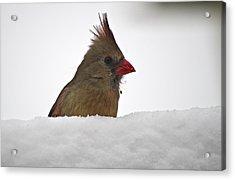 Snowy Peek-a-boo Acrylic Print